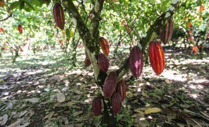 kakaobönor - chokladens historia